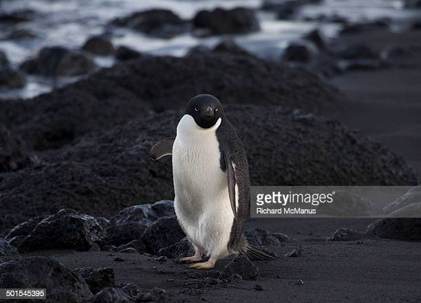 Adelie Penguin giving directions.