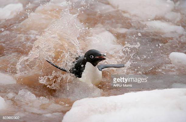 adelie penguin in guano slush - adelie penguin stock pictures, royalty-free photos & images