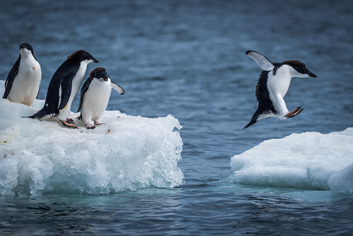 Adelie penguin jumping between two ice floes 518680544