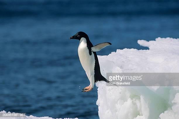 Adelie penguin leaping from iceberg