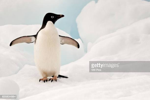 Adelie penguin on an iceberg in Shingle Cove in the South Orkney Islands, Antarctica.