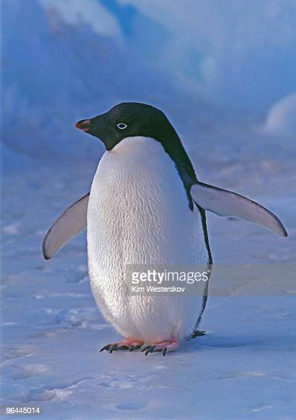 adelie penguin on ice, close, low sunlight - adelie penguin stock pictures, royalty-free photos & images