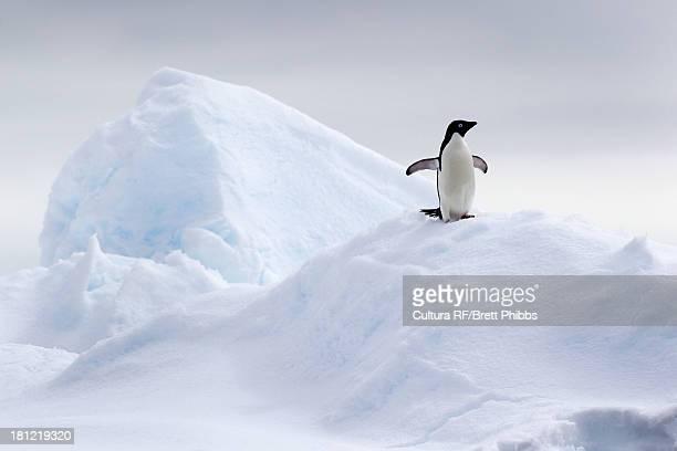 adelie penguin on ice floe in the southern ocean, 180 miles north of east antarctica, antarctica - ijsschots stockfoto's en -beelden