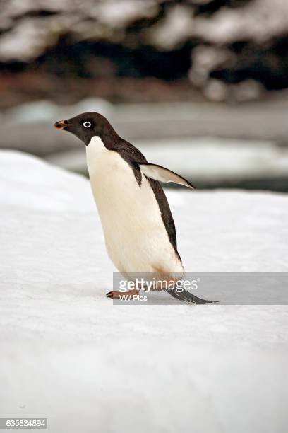Adelie penguin on ice floes in the South Orkney Islands, Antarctica.