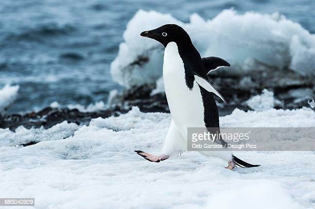 adelie penguin (pygoscelis adeliae) - adelie penguin stock pictures, royalty-free photos & images