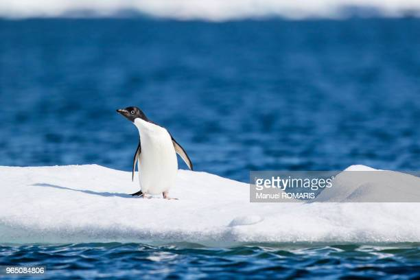 adelie penguin, plenau island, lemaire channel, antarctica - one animal stock pictures, royalty-free photos & images