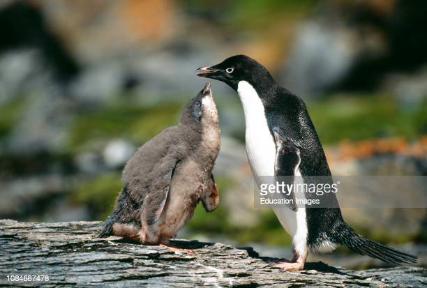Adelie Penguin, Pygoscelis adeliae, chick begging for food from parent, Antarctic Peninsula.