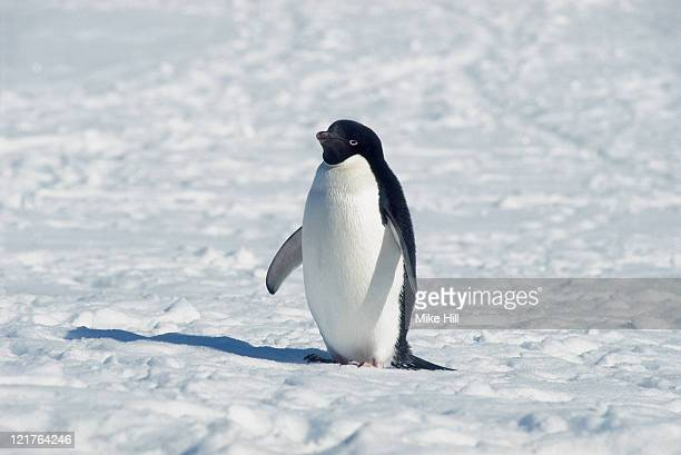 adelie penguin, pygoscelis adeliae, in snow, antarctica - adelie penguin stock pictures, royalty-free photos & images