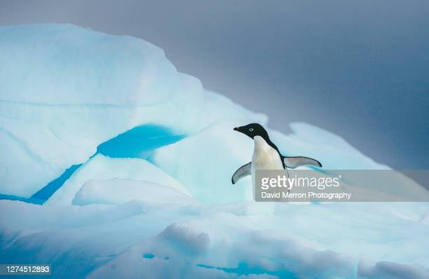 adelie penguin stands alone on top of iceberg in antarctica - antarctic sound stock pictures, royalty-free photos & images