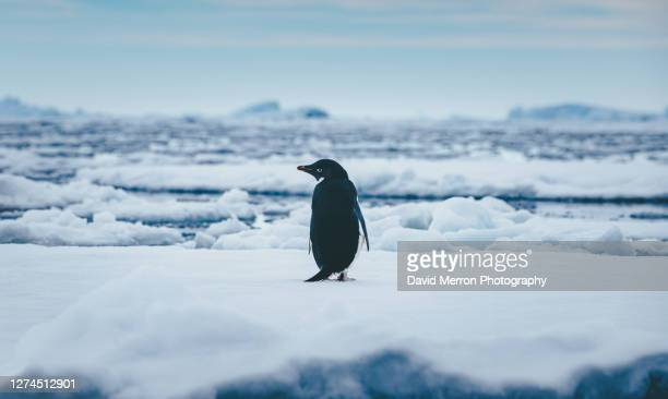adelie penguin stands alone on top of iceberg in antarctica - 南極海峡 ストックフォトと画像