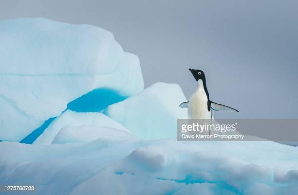 adelie penguin stands alone on top of iceberg in antarctica - antarctic sound foto e immagini stock