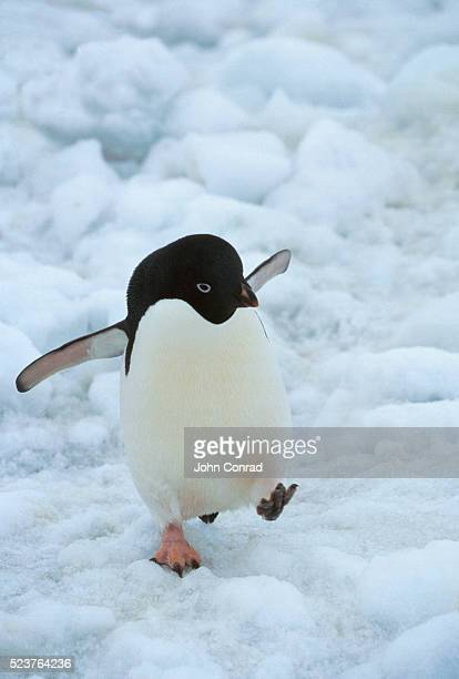 adelie penguin walking on the ice - adelie penguin stock pictures, royalty-free photos & images