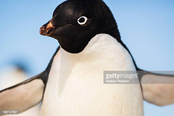 adelie penguin, yalour islands - adelie penguin stock pictures, royalty-free photos & images