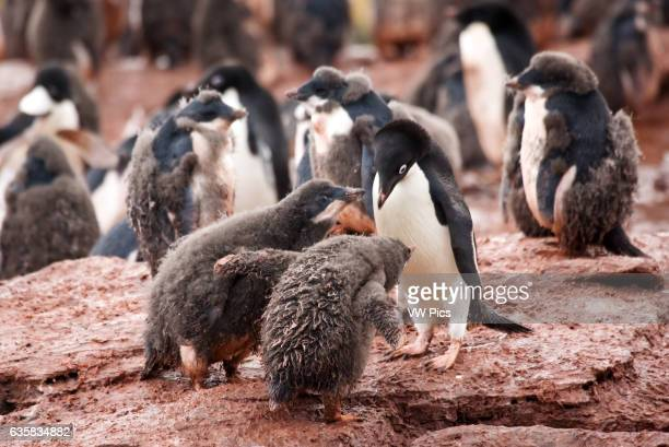 Adelie penguins and chicks at Shingle Cove, South Orkney Islands, Antarctica.