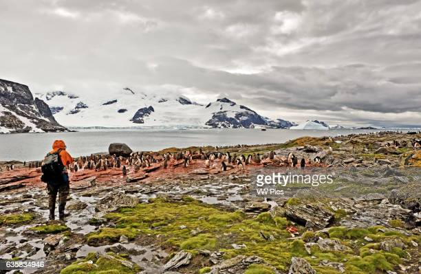 Adelie penguins and chicks at Shingle Cove, South Orkney Islands, Antarctica. View across rookery with human figure in foreground.