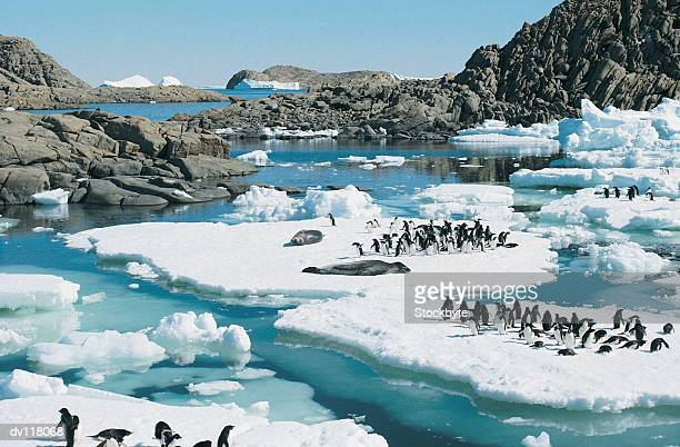 Adelie Penguins and Leopard Seals resting on ice floes,Rauer Isla,East Antarctica