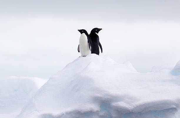 Adelie Penguins Back To Back On Ice Floe In The Southern Ocean, 180 Miles North Of East Antarctica, Antarctica Wall Art