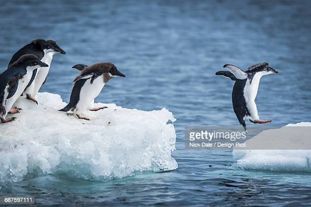 Adelie penguins (Pygoscelis adeliae) diving between two ice floes