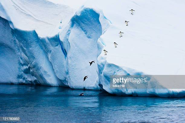 adelie penguins (pygoscelis adeliae) diving off iceberg, antarctica - adelie penguin stock pictures, royalty-free photos & images
