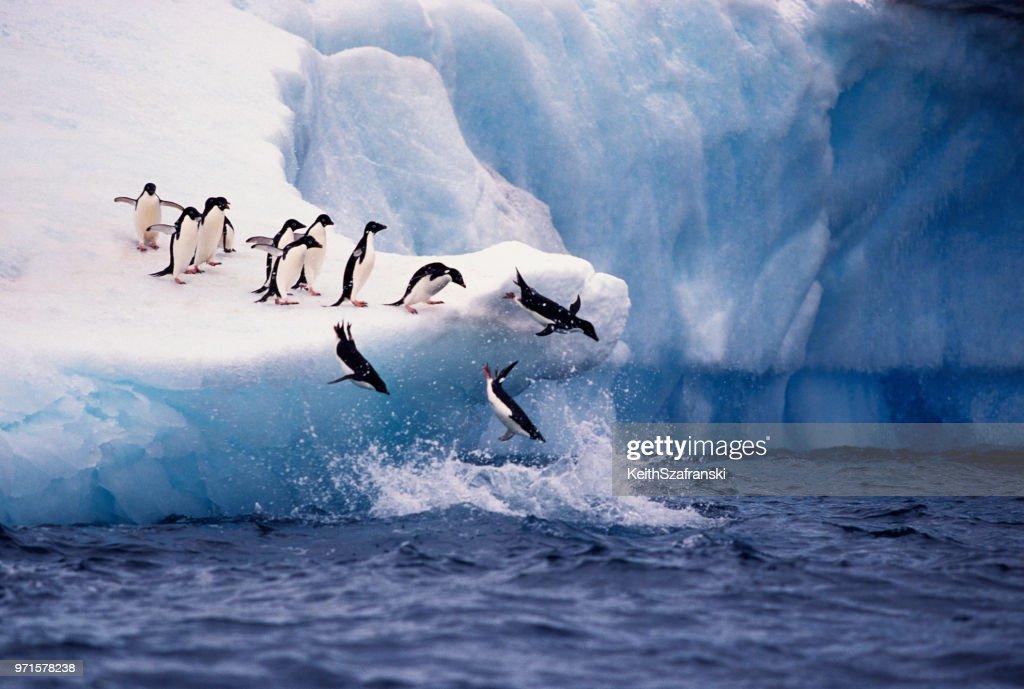 Adelie Penguins Jumping from Iceberg : Stock Photo