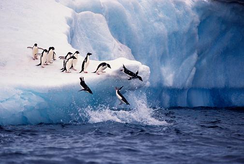 Adelie Penguins Jumping from Iceberg 971578238