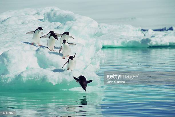 adelie penguins (pygoscelis adeliae) jumping from iceberg - penguin stock pictures, royalty-free photos & images