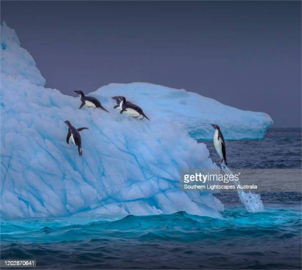adelie penguins jumping onto ice floe, half moon island, antarctic peninsular, antarctica. - adelie penguin stock pictures, royalty-free photos & images