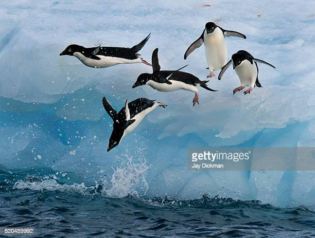 adelie penguins launching - drake passage stock photos and pictures