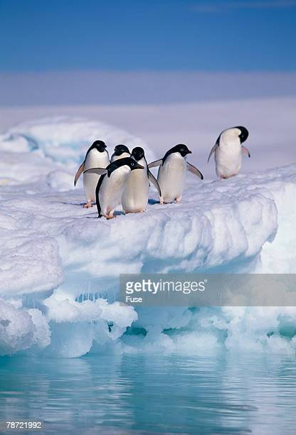 adelie penguins on ice floe next to water - adelie penguin stock pictures, royalty-free photos & images