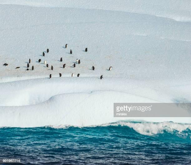 南極の氷山のアデリー ペンギン