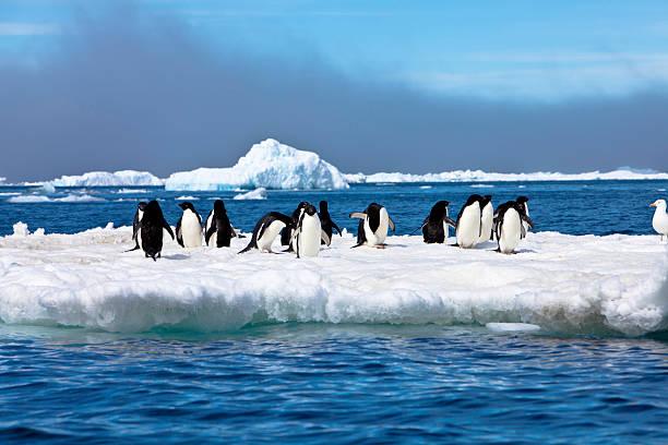 Adelie Penguins on Iceberg Paulet Island Antarctica