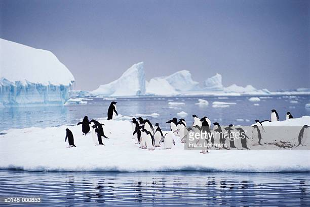 adelie penguins on iceberg - adelie penguin stock pictures, royalty-free photos & images