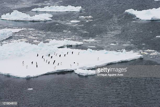 adelie penguins (pygoscelis adeliae) on pack ice, antarctic sound, antarctica - antarctic sound stockfoto's en -beelden