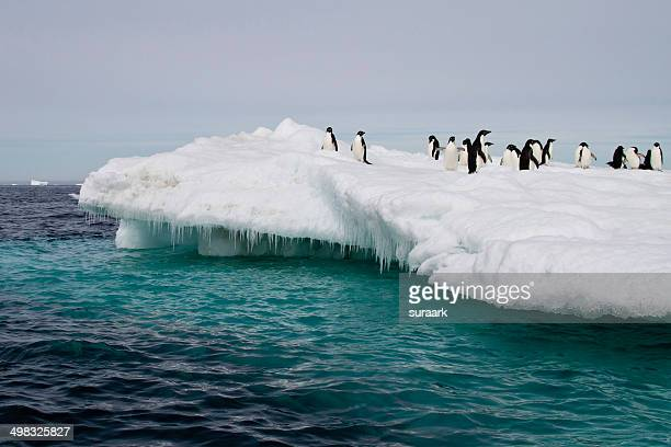 Adelie penguins on the iceberg at Antarctic Sound