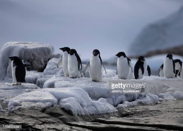 adelie penguins - 南極大陸探検 ストックフォトと画像