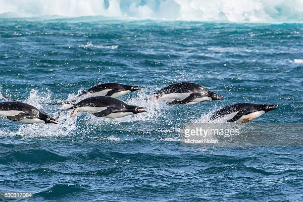 adelie penguins (pygoscelis adeliae) porpoising at sea at brown bluff, antarctica, southern ocean, polar regions - adelie penguin stock pictures, royalty-free photos & images