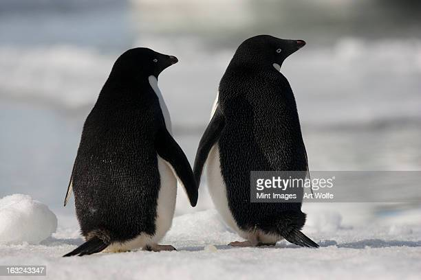 adelie penguins standing side by side touching flippers on paulet island, antarctica - adelie penguin stock pictures, royalty-free photos & images