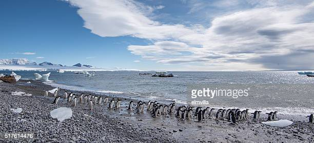 adelie penguins walking along a black stony beach in antarctica - adelie penguin stock pictures, royalty-free photos & images