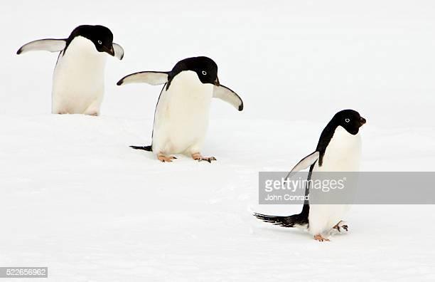 adelie penguins walking in snow - 三匹 ストックフォトと画像