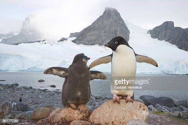 adelie penguins,cape evensen; antarctic pen. - adelie penguin stock pictures, royalty-free photos & images