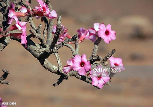 Adenium obesum auch Wüstenrose genannt ist eine Pflanzenart aus der Familie der Hundsgiftgewächse Apocynaceae Foto Oman nördlich Salalah Wüste Blüte...