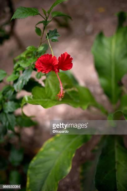 Adenium or Desert Rose
