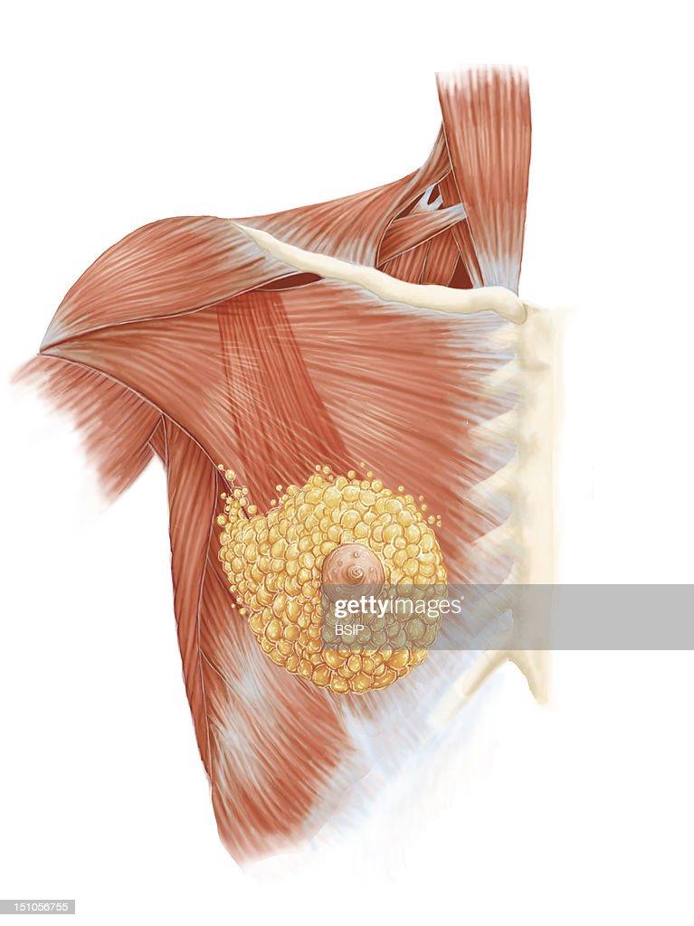 Breast,Illustration : News Photo