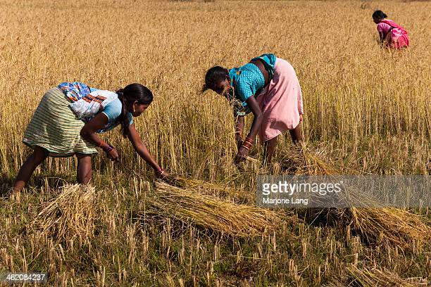 CONTENT] Adivasi women harvesting rice in paddy fields in the countryside near Dumuriput village in Orissa India
