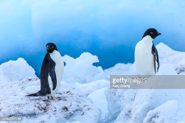 adélie penguin in antarctica - adelie penguin stock pictures, royalty-free photos & images