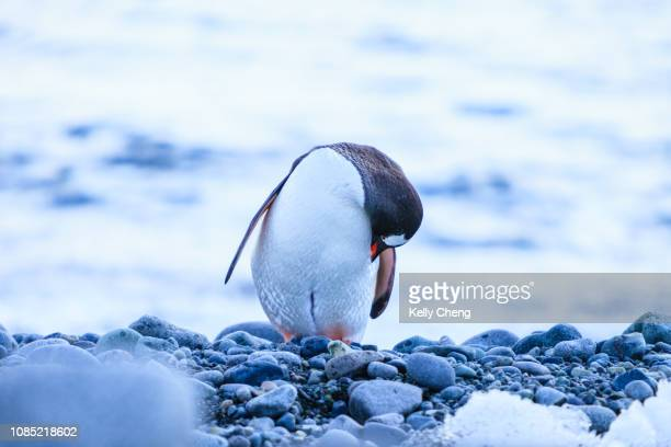 adélie penguin in antarctica - drake passage stock photos and pictures