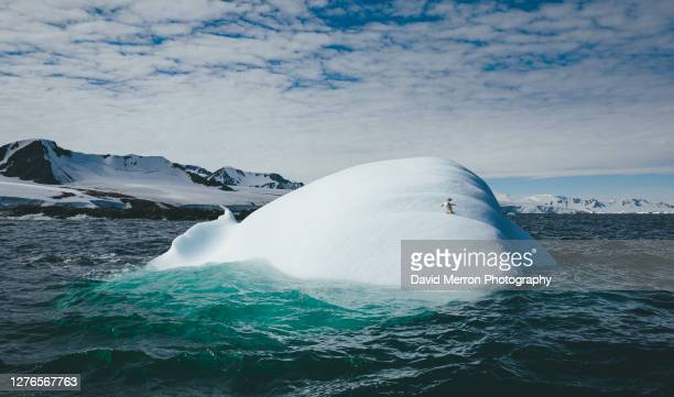 adélie penguin on iceberg - antarctica stock pictures, royalty-free photos & images
