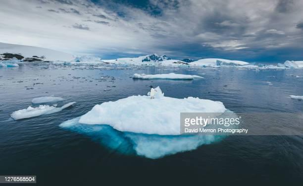 adélie penguin on sea ice - 南極大陸探検 ストックフォトと画像