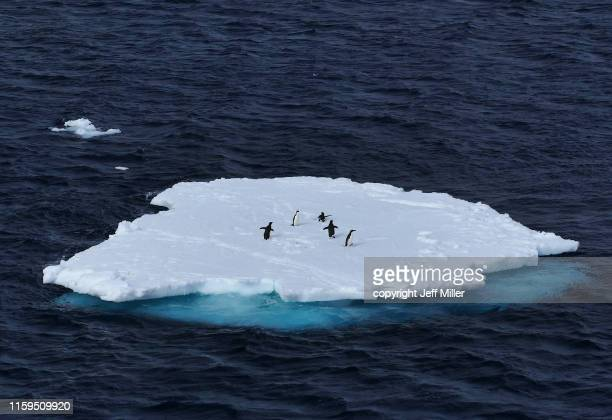 adélie penguins (pygoscelis adeliae) gathered on an ice floe, near casey station, southern ocean, antarctica - ijsschots stockfoto's en -beelden