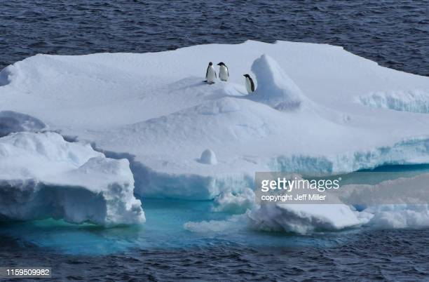 adélie penguins (pygoscelis adeliae) gathered on an ice floe, near casey station, southern ocean, antarctica - adelie penguin stock pictures, royalty-free photos & images